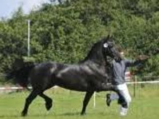 Inspection of Friesian horses